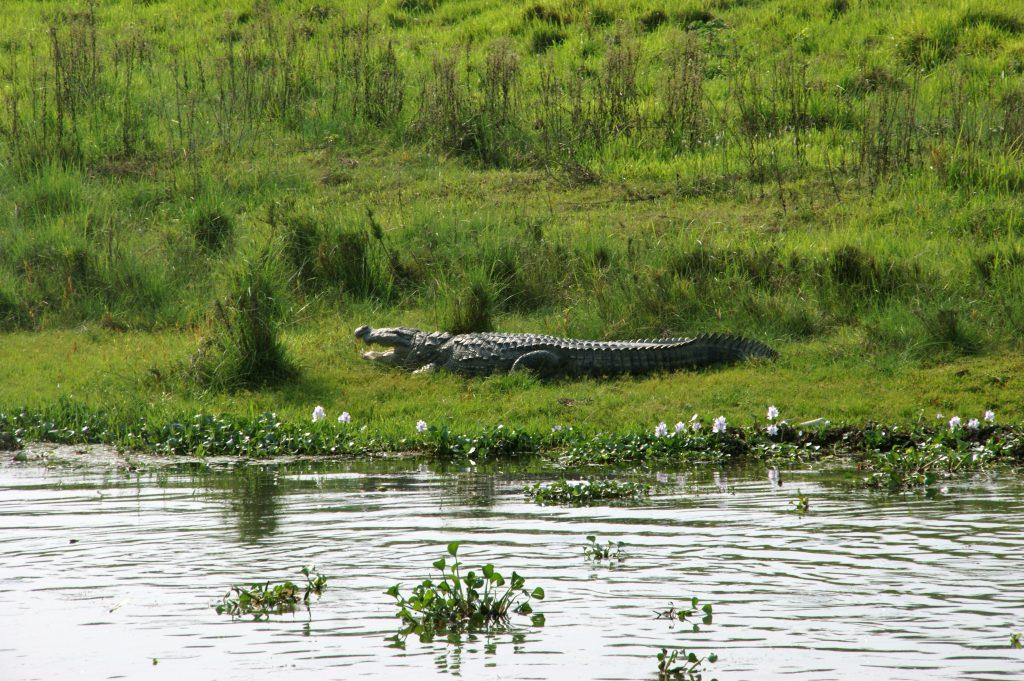 crocodile-1125627